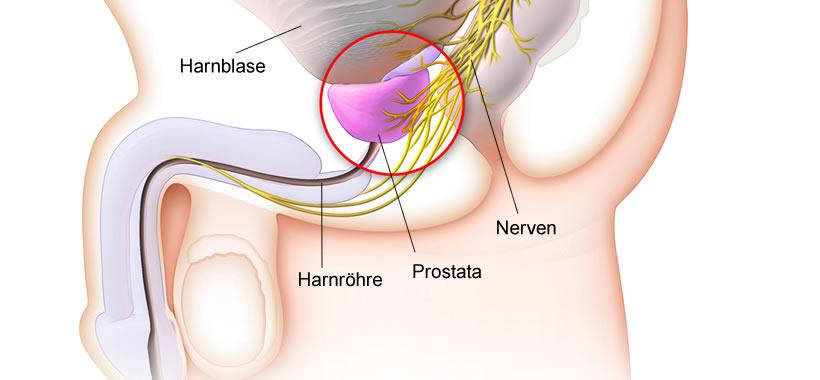 Die Prostata eines Mannes - Erklärung & Informationen
